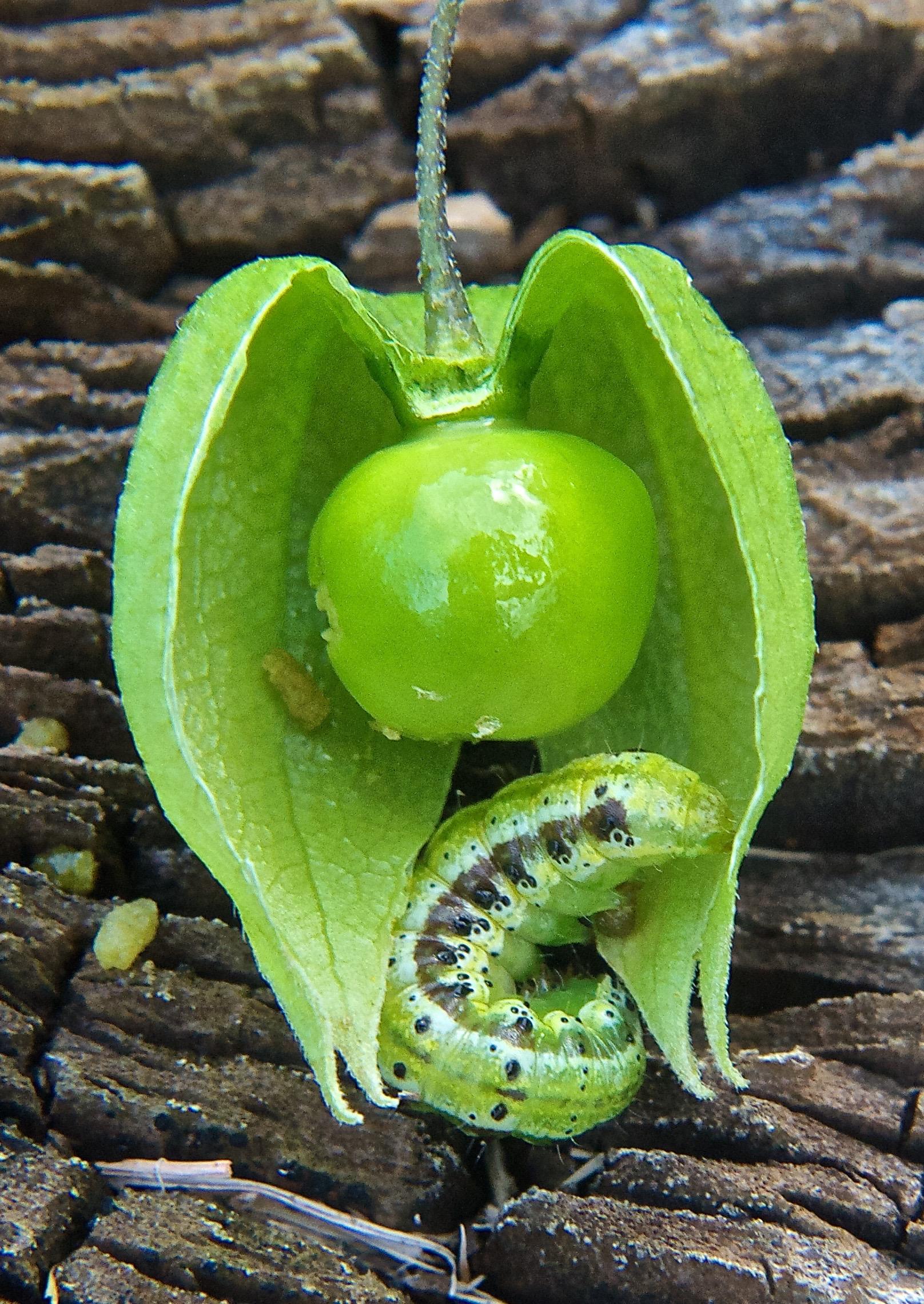 Ground Cherry Sun Moth (heliothis subflexa)