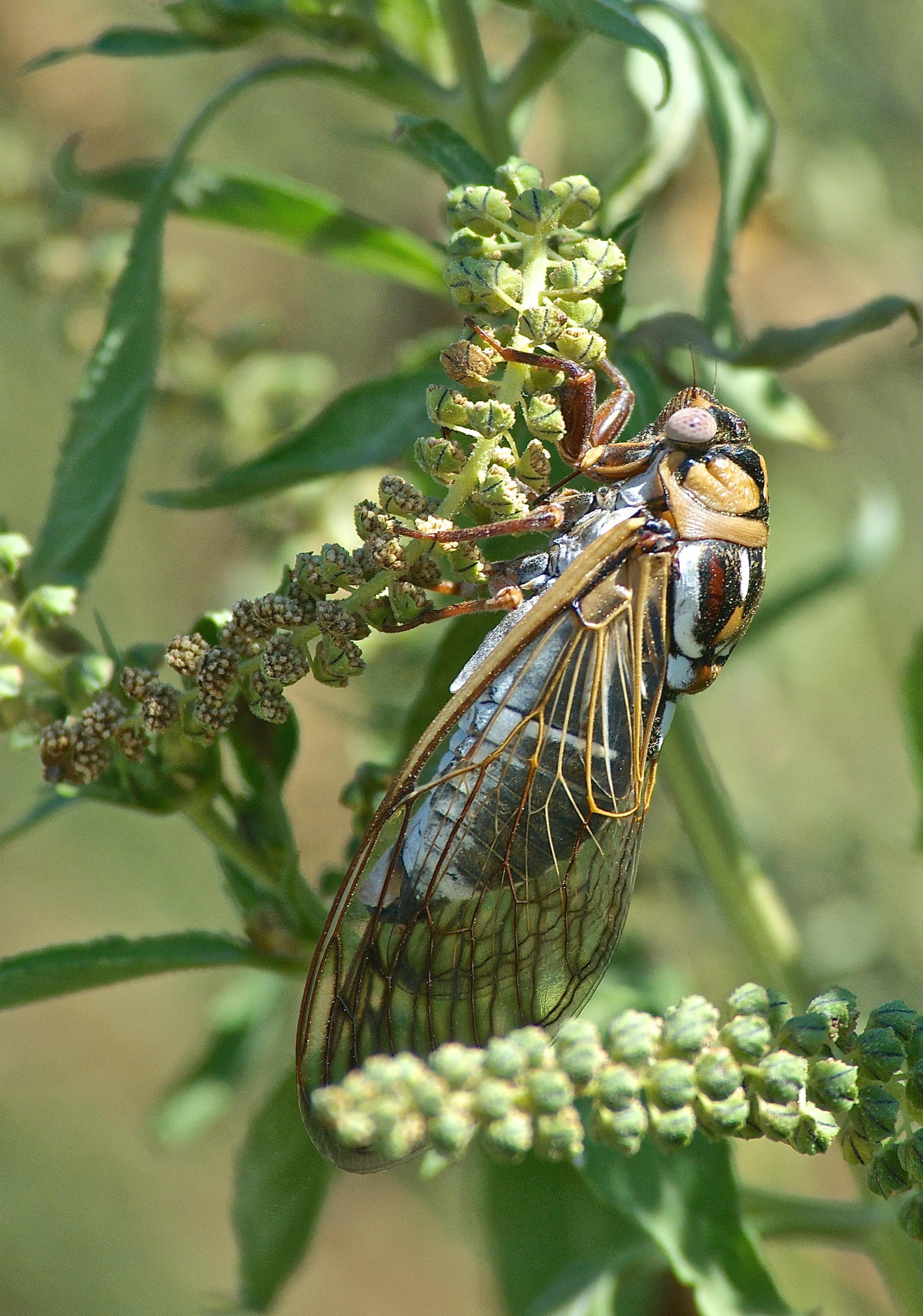 Cicada on Ragweed