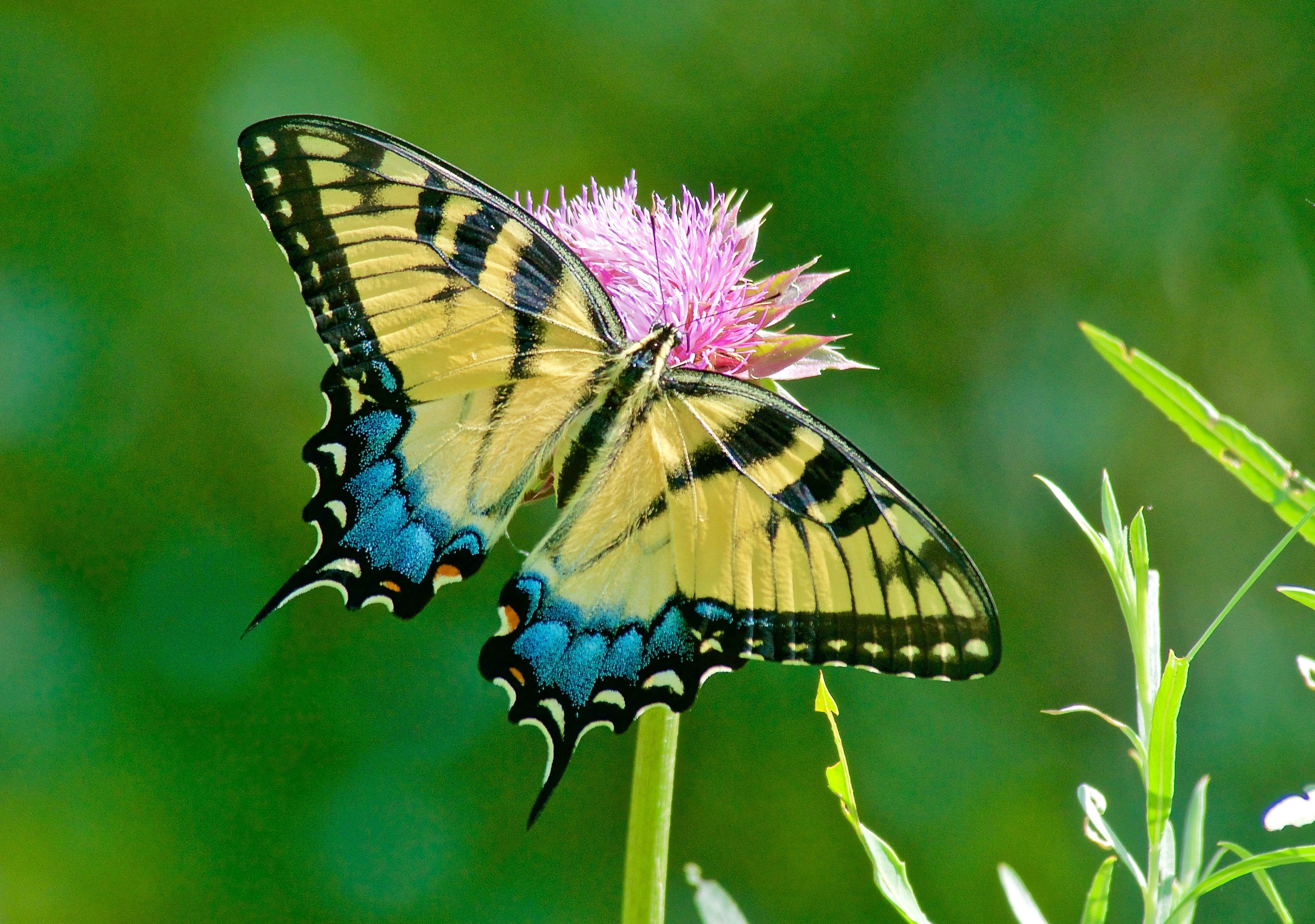 Western Tiger Swallowtail Butterfly (Papilio Rutulus) on Musk Thistle