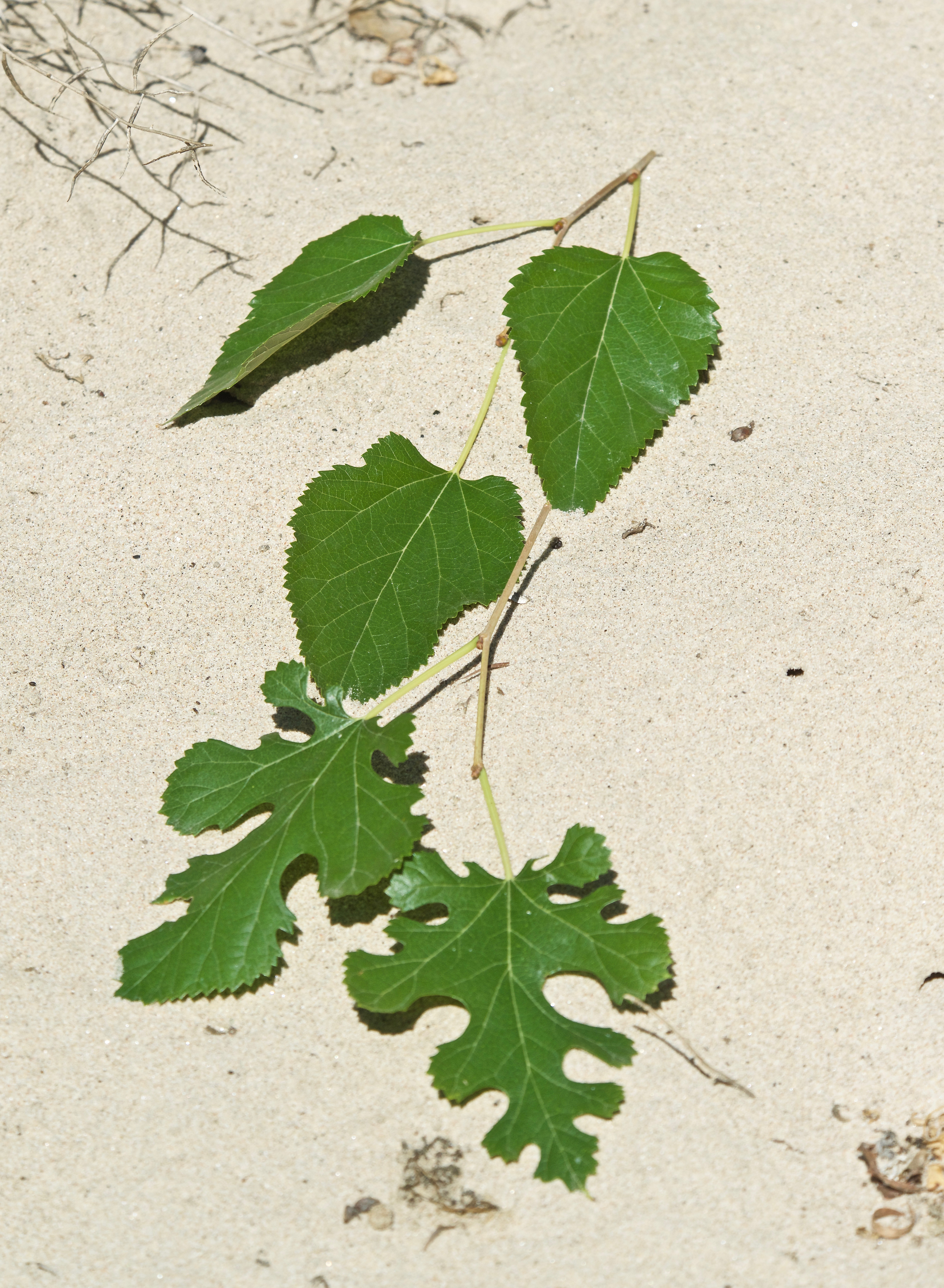 Mulberry Tree Leaves from Same Tree