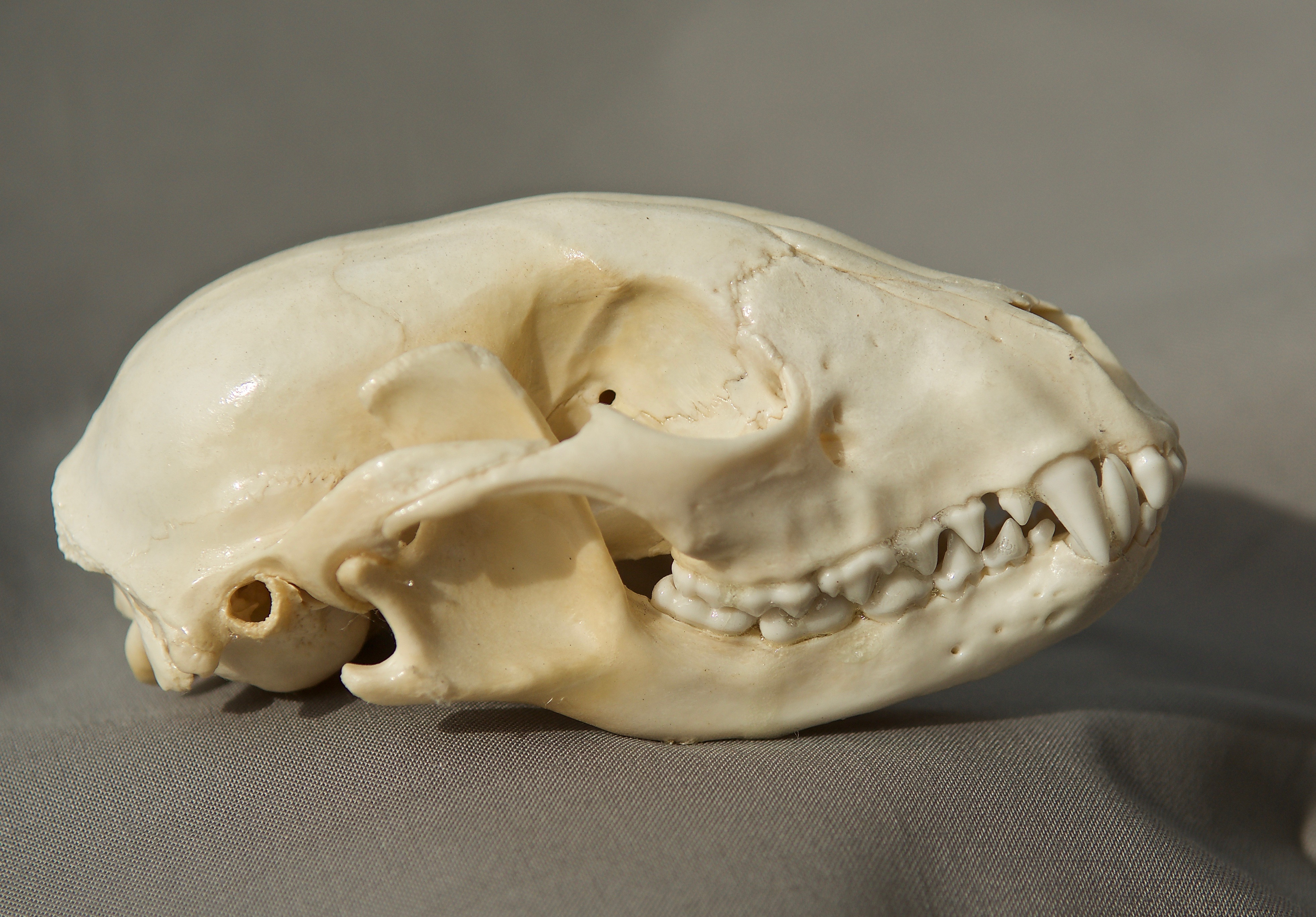 Raccoon Skull