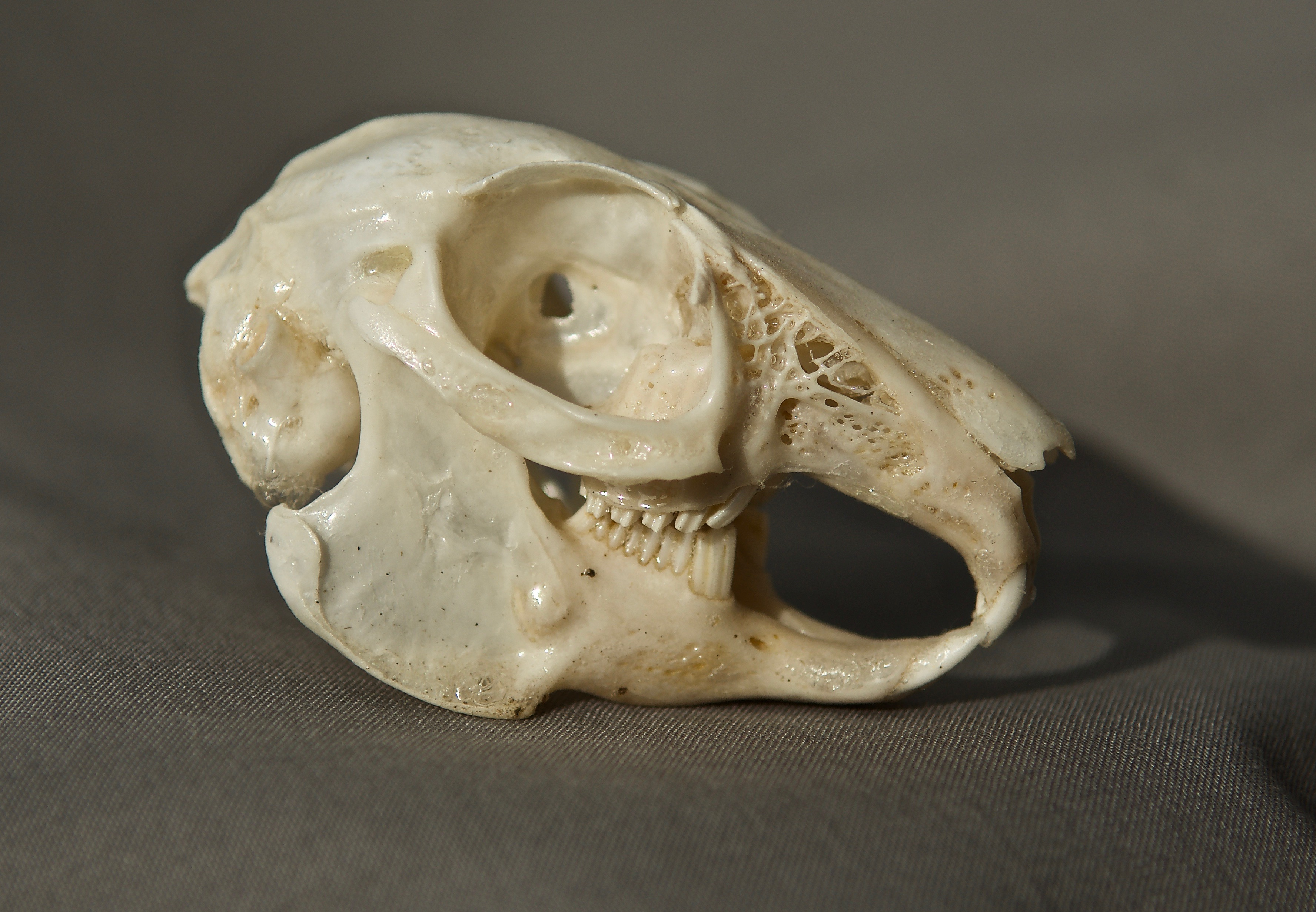 Cottontail Skull