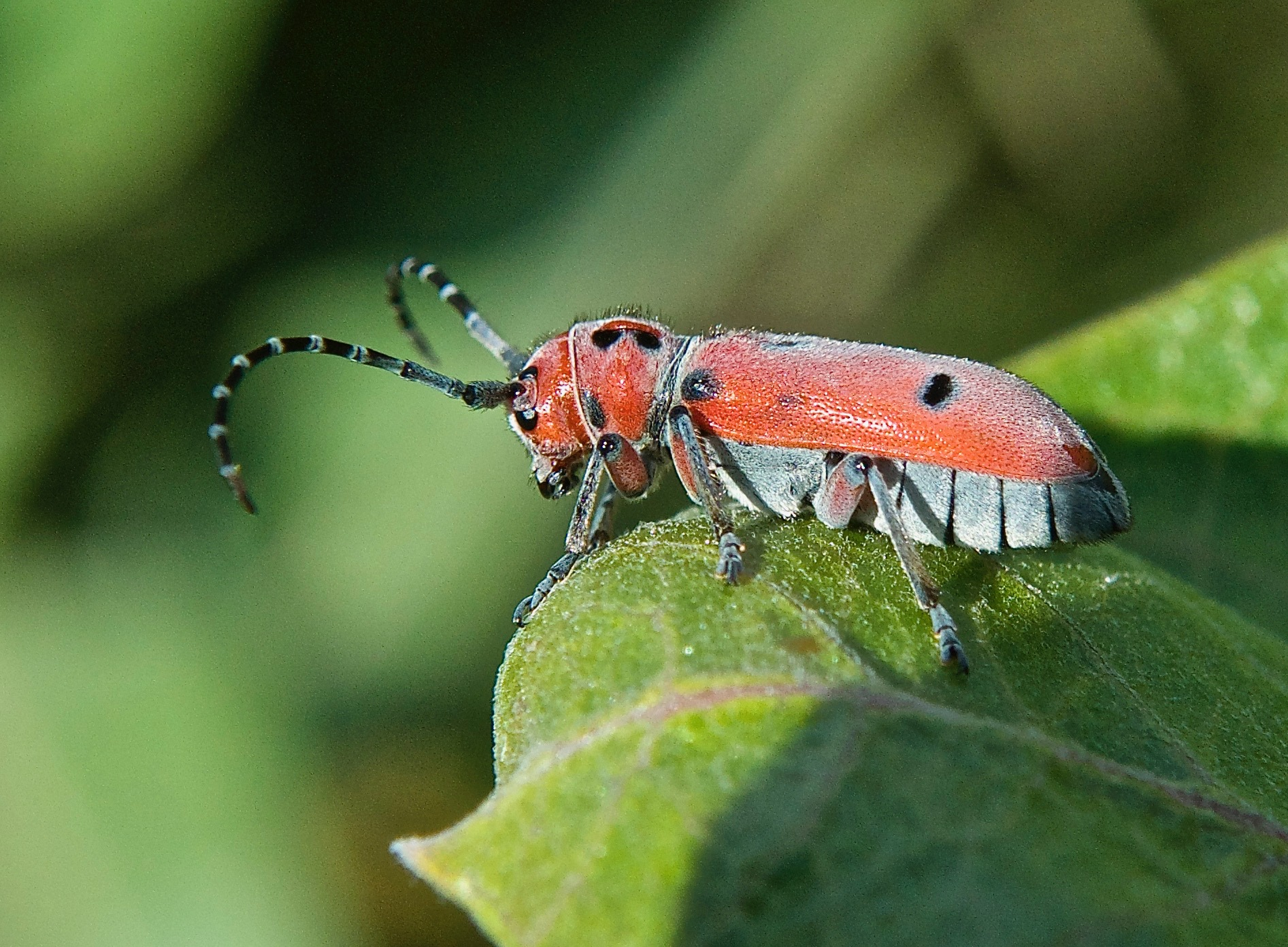 Red Milkweed Beetle (Tetraopes tetrophthalmus) on Showy Milkweed