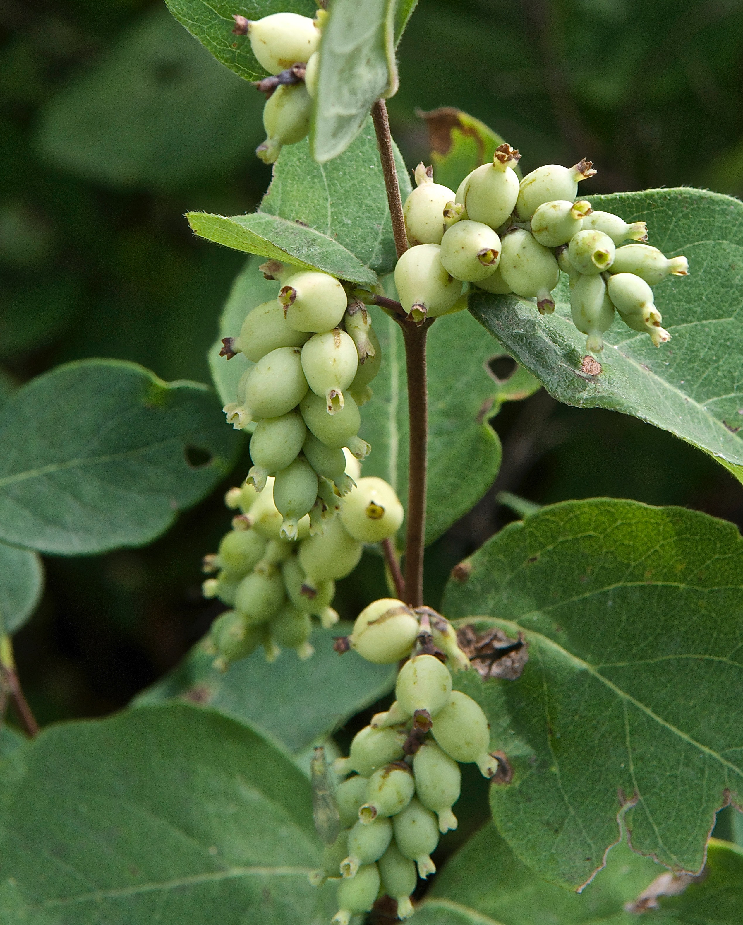 Western Snowberry (Symphoricarpos occidentalis)