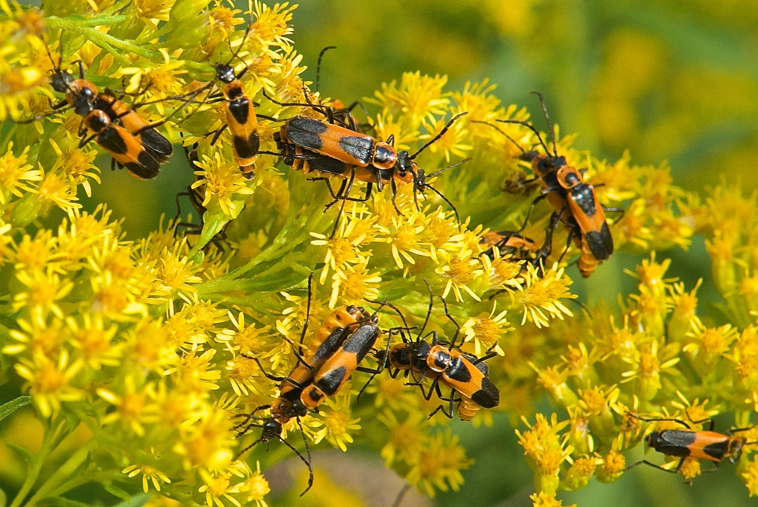 Goldenrod Soldier Beetles on Canada Goldenrod (Solidago canadensis)