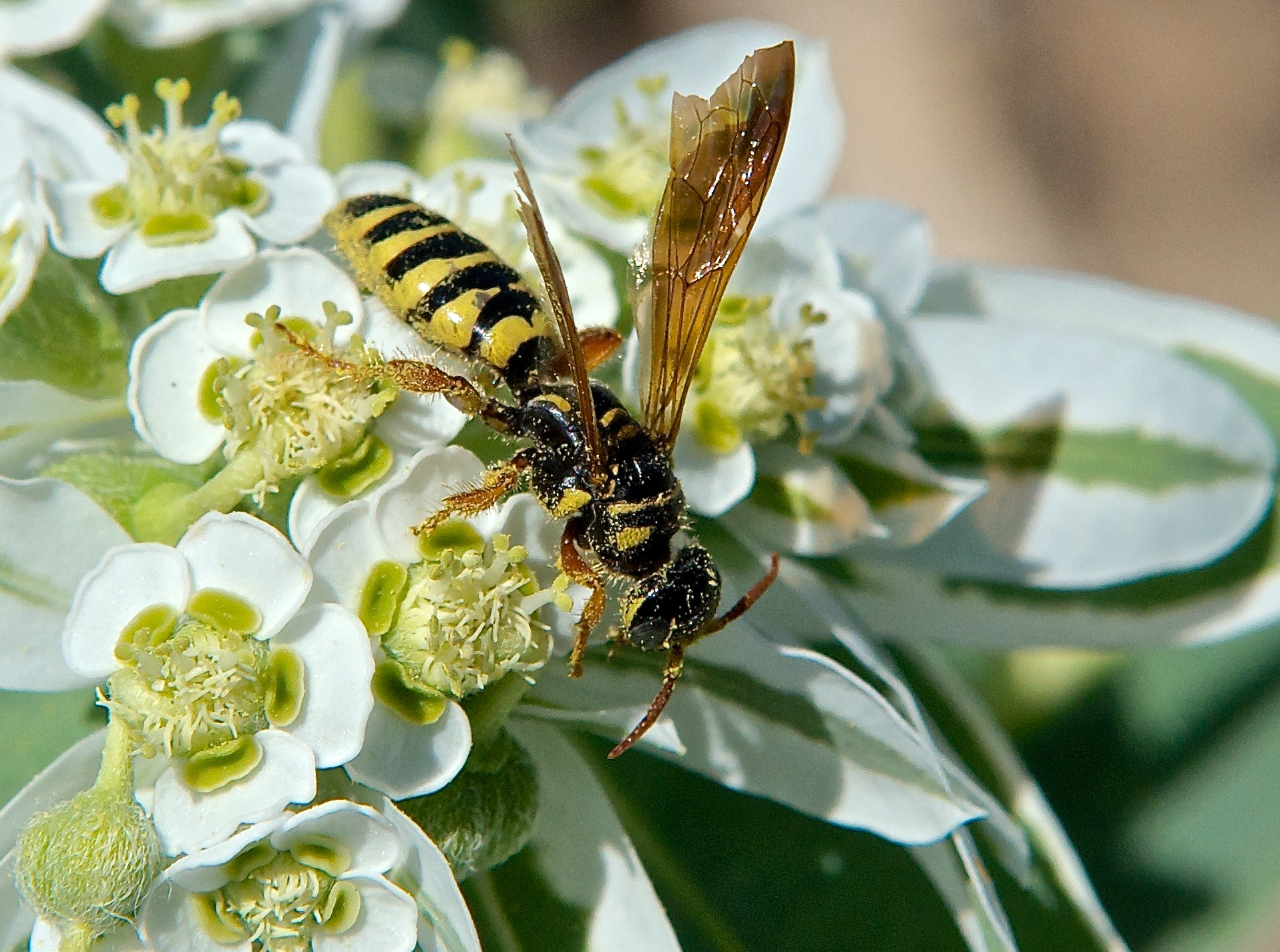 Eusapyga verticalis (Stelis?) Wasp on Snow on the Mountain