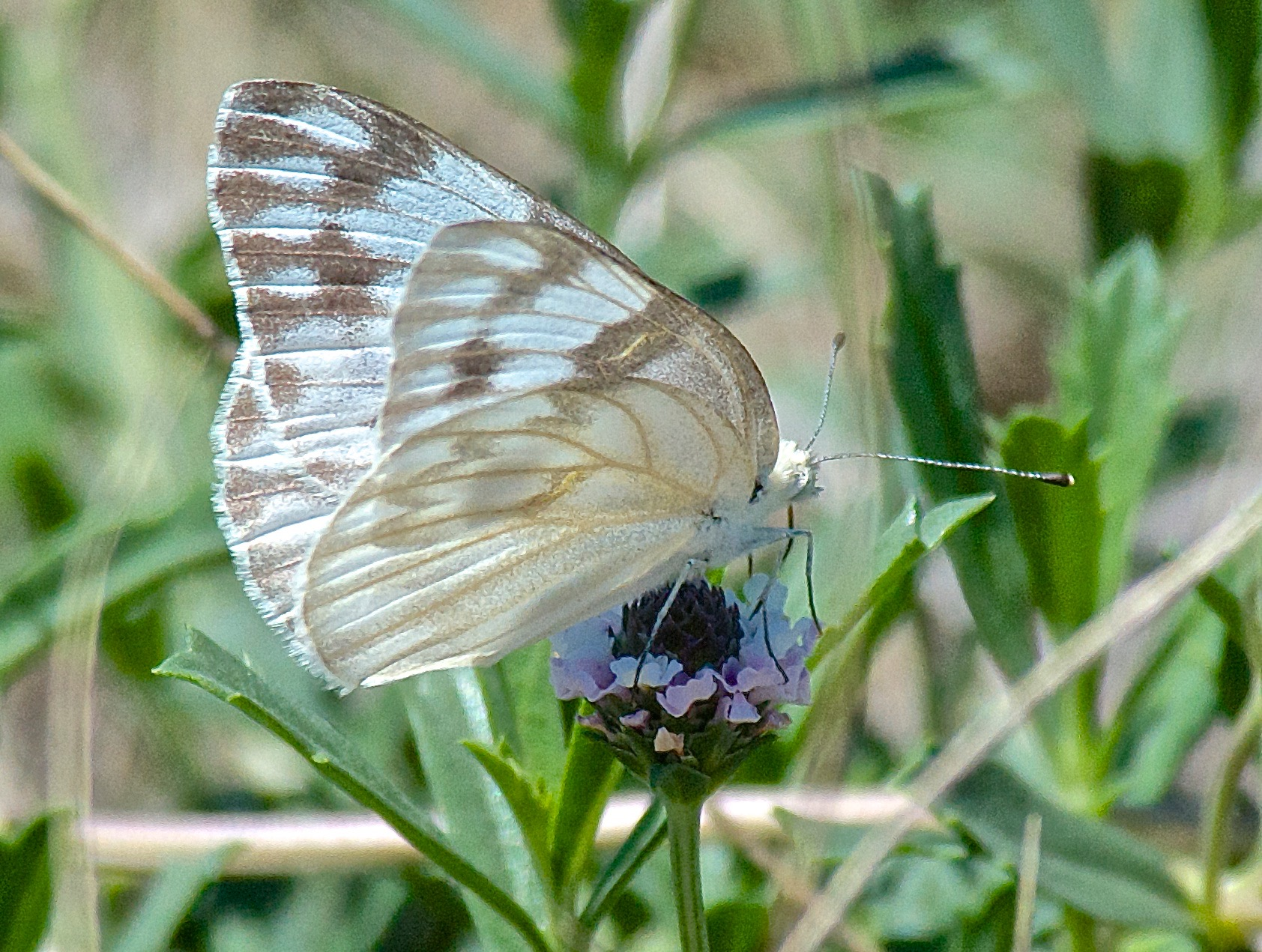 Checkered White Butterfly (Pontia protodice) on Wedgeleaf Fogfruit