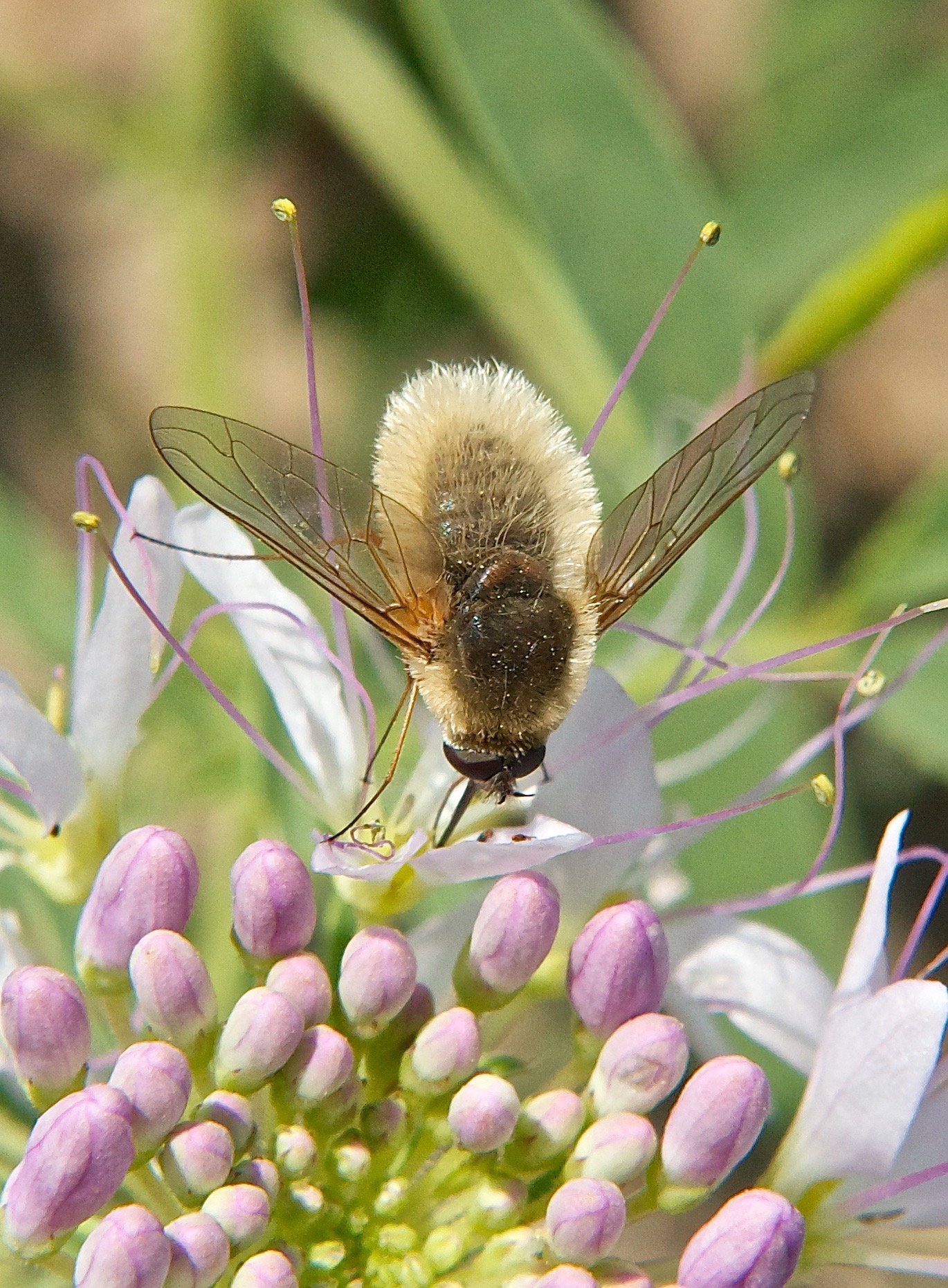 Bee-Fly (Systoechus vulgaris)